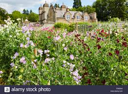 sweet pea flowers in the gardens of easton walled gardens easton grantham lincolnshire