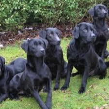 uk gundogs for retrievers stud dogs gundog breeders of retrievers