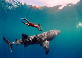 cancun whale shark tour whale shark lowest price guarantee