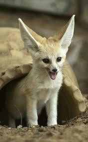 newborn fennec fox.  Newborn A Sevenweek Old Fennec Fox Vulpes Zerda At The Ramat Gan Safari Inside Newborn Fennec Fox X