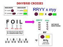 Dihybrid Cross Wikipedia