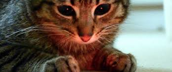 Laser Pointers: A Good Idea for Your <b>Cat</b> but Not for Your Dog   Rau ...