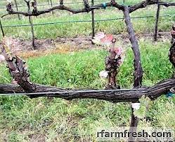 Pruning Grapes In The Fall For Beginners Garden 2019