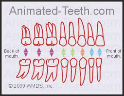 Teeth Numbers Chart Usa Quizzes Universal Teeth Numbering System Tooth Identification