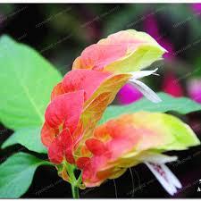 flower justicia-ის სურათის შედეგი