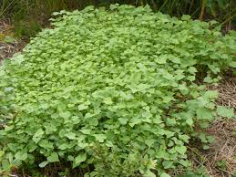 garden cover crop. Buckwheat Garden Cover Crop