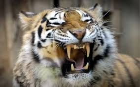images of tigers. Interesting Tigers Two Tigers Killed The Donkey To Images Of Tigers