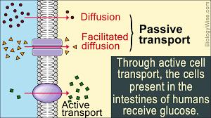Active Vs Passive Transport Venn Diagram Passive Transport And Active Transport