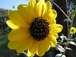 Image result for sunflower turning to sun