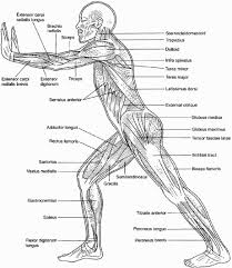 Muscular System Coloring Sheets Coloring Pages Anatomy