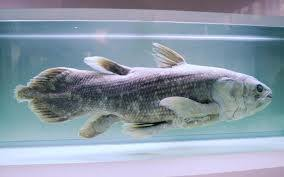 Разнообразие костистых рыб Длительное время считали что эти рыбы вымерли Но в 1938 году нашли одного представителя кистепёрих рыб Сейчас уже возобновлено несколько десятков особей