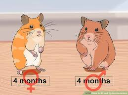 How To Breed Syrian Hamsters With Pictures Wikihow