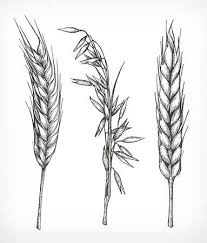 wheat drawing. Plain Drawing Crops Wheat And Oat Sketches Hand Drawing Vector Set Stock Vector   55856649 Inside Wheat Drawing I