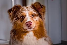 A Complete Guide To The Border Collie Australian Shepherd