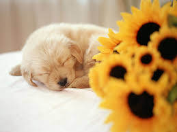sleeping puppy wallpaper dogs s wallpapers