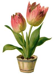 Image result for spring tulips in a pot