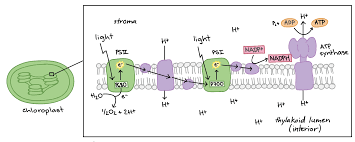 diagram of non cyclic photophosphorylation the photosystems and electron transport chain components are embedded