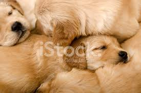 really cute golden retriever puppies sleeping. Interesting Really Golden Retriever Puppies Sleeping On Each Other For Really Cute Retriever Puppies Sleeping