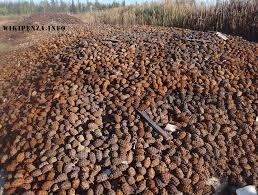 леса Вот это называется сходил за шишками  Дары леса Вот это называется сходил за шишками