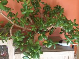 jade plant moved from tucson to northern colorado sentimental value advice to keep healthy please