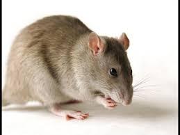 Image result for चूहे आपके घर से रास्ता भूल जायेंगे