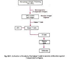 Humoral Immunity Flow Chart Mechanism Of Humoral Immunity Microbiology