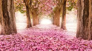 sakura trees pink flower spring nature hd wallpaper