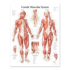 Female Anatomy Chart 2111 08 Female Muscular System Anatomical Chart