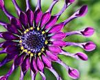 african daisy