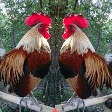 กลุ่ม อนุรักษ์ ไก่สวยงาม ไก่หูขาว ไก่แจ้ ประเทศไทย - Home