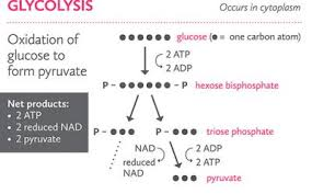 Glycolysis Big Picture