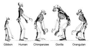 Evolution Of Man Chart Human Evolution Wikipedia
