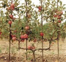 Buy Trained Fruit Trees From Carrob Growers  Cordon  Fan Growing Cordon Fruit Trees
