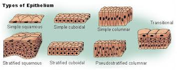 Classification Of Covering And Lining Membranes Complete The Following Chart Epithelial Tissue Anatomy Physiology