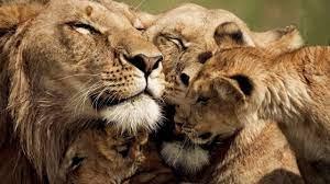 850 lion family image