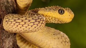 The scientific name is viperidae. San Diego Zoo Snake Bite Nbc 7 San Diego