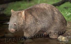 Самые красивые животные Австралии Топ  Вомбат vombat ночное сумчатое животное Австралии австралийское животное