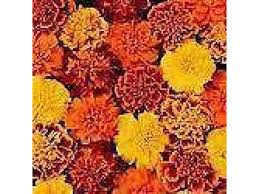 french marigold mixed bedding plants 12 garden ready plants