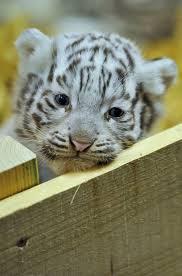 """Résultat de recherche d'images pour """"image de bebe tigre blanc"""""""