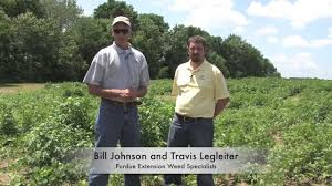 Palmer Amaranth Identifying Palmer Amaranth In The Field Youtube