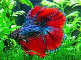 petco animals fish.  Petco Show Me Your Petco Bettas  159808 Inside Animals Fish K