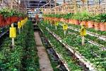 Выращивая клубнику в домашних условиях зимой