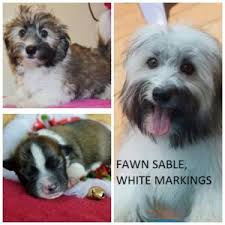 Small Picture Havanese Color Guide Royal Flush Havanese