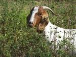 Goats feeding right on course | Lexington Herald Leader