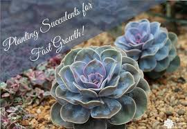 plant succulents for fastest growth