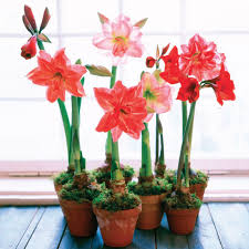 live beauty gifts of flowering bulbs