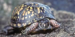 Eastern Box Turtle Smithsonians National Zoo