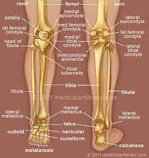 Behind the fetlock joint, there are two bones known as the sesamoids. Pin By Genna Hornsby On Anatomy Medical Anatomy Anatomy Bones Anatomy