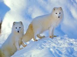 arctic fox facts vulpes