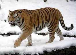 siberian tiger vs bengal tiger. Unique Siberian For Siberian Tiger Vs Bengal T